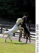 Kämpfende Esel. Стоковое фото, фотограф Zoonar.com/Martina Berg / easy Fotostock / Фотобанк Лори