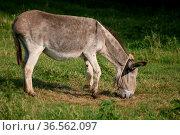 Esel mit. Стоковое фото, фотограф Zoonar.com/Martina Berg / easy Fotostock / Фотобанк Лори