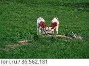 Glückliche Kühe. Стоковое фото, фотограф Zoonar.com/Martina Berg / easy Fotostock / Фотобанк Лори