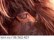 Schottisches Hochlandrind (Auge) Стоковое фото, фотограф Zoonar.com/Martina Berg / easy Fotostock / Фотобанк Лори