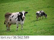 Milchkühe auf der Weide. Стоковое фото, фотограф Zoonar.com/Martina Berg / easy Fotostock / Фотобанк Лори
