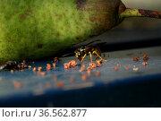 Wespen auf (und in) einer vom Baum gefallenen Birne. Стоковое фото, фотограф Zoonar.com/Martina Berg / easy Fotostock / Фотобанк Лори
