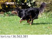 Schwarz-brauner Mischlingshund. Стоковое фото, фотограф Zoonar.com/Martina Berg / easy Fotostock / Фотобанк Лори