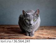 Portrait einer Russisch Blau Rassekatze. Стоковое фото, фотограф Zoonar.com/Nailia Schwarz / easy Fotostock / Фотобанк Лори