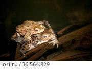 Zwei Erdkröten in ihrem Laichgewässer. Стоковое фото, фотограф Zoonar.com/Martina Berg / easy Fotostock / Фотобанк Лори