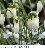 Schneegloeckchen, Galanthus nivalis. Стоковое фото, фотограф Zoonar.com/Manfrede Ruckszio / easy Fotostock / Фотобанк Лори