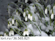 Schneegloeckchen, Galanthus nivalis. Стоковое фото, фотограф Zoonar.com/Manfred Ruckszio / easy Fotostock / Фотобанк Лори