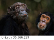 Eastern chimpanzee  (Pan troglodytes schweinfurtheii) male (castrate) 'Pax' aged 35 years and juvenile female 'Keaton' aged 8 years portrait.Gombe National Park, Tanzania. September 2013. Стоковое фото, фотограф Fiona Rogers / Nature Picture Library / Фотобанк Лори
