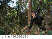 Eastern chimpanzee  (Pan troglodytes schweinfurtheii) infant male 'Fifty' aged 3 years swinging from a liana.Gombe National Park, Tanzania. September 2013. Стоковое фото, фотограф Anup Shah / Nature Picture Library / Фотобанк Лори