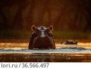 Hippopotamus (Hippopotamus amphibius) in water at sunset. Mana Pools National Park, Zimbabwe. Стоковое фото, фотограф Tony Heald / Nature Picture Library / Фотобанк Лори
