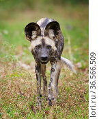 African wild dog (Lycaon pictus) portrait, Mana Pools National Park, Zimbabwe. Стоковое фото, фотограф Tony Heald / Nature Picture Library / Фотобанк Лори