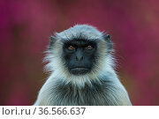 Hanuman langur (Semnopithecus/ Presbytis entellus), portrait in front of Bougainvilleaflowers. Rajasthan, India. Стоковое фото, фотограф Axel  Gomille / Nature Picture Library / Фотобанк Лори