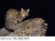 European wildcat (Felis silvestris silvestris) licking lips whilst on tree trunk. Danube Delta, Romania. May. Стоковое фото, фотограф Loic Poidevin / Nature Picture Library / Фотобанк Лори