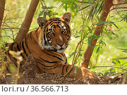 Bengal Tiger (Panthera tigris) young sub-adult male Ranthambhore, India. Стоковое фото, фотограф Andy Rouse / Nature Picture Library / Фотобанк Лори