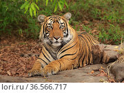 Bengal tiger (Panthera tigris) sub-adult male, Ranthambhore, India. Стоковое фото, фотограф Andy Rouse / Nature Picture Library / Фотобанк Лори