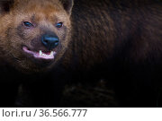 Bush dog (Speothos venaticus) portrait. Occurs in Central and South America. Captive, Netherlands. Стоковое фото, фотограф Edwin Giesbers / Nature Picture Library / Фотобанк Лори