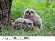 RF - Eagle owl (Bubo bubo), two chicks on ground, Netherlands. May. (This image may be licensed either as rights managed or royalty free.) Стоковое фото, фотограф Edwin Giesbers / Nature Picture Library / Фотобанк Лори