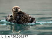 Sea otter (Enhydra lutris) with pup resting on ice, Alaska, USA, February. Стоковое фото, фотограф Danny Green / Nature Picture Library / Фотобанк Лори