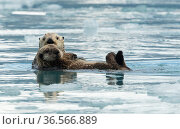 Sea otter (Enhydra lutris) with pup resting on ice, Alaska, USA, June. Стоковое фото, фотограф Danny Green / Nature Picture Library / Фотобанк Лори