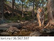 Bengal tiger (Panthera tigris tigris), male near tree previously spray marked by female. Camera trap image. Pench National Park, Madhya Pradesh, India. January 2018. Стоковое фото, фотограф Nayan Khanolkar / Nature Picture Library / Фотобанк Лори