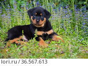 Rottweiler puppy lying amongst blue flowers. Haddam, Connecticut, USA. May. Стоковое фото, фотограф Lynn M. Stone / Nature Picture Library / Фотобанк Лори