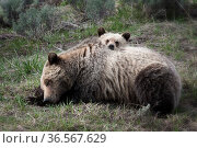 Grizzly bear (Ursus arctos horribilis) female with cub resting head on her back. Yellowstone, Wyoming, USA. May. Стоковое фото, фотограф Jeff Vanuga / Nature Picture Library / Фотобанк Лори