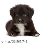 Black-and-white Miniature American Shepherd puppy, 5 weeks. Стоковое фото, фотограф Mark Taylor / Nature Picture Library / Фотобанк Лори