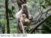 Silky sifaka (Propithecus candidus) female with baby sitting amongst branches in understorey of mid-altitude montane rainforest. Marojejy National Park, north east Madagascar. Стоковое фото, фотограф Nick Garbutt / Nature Picture Library / Фотобанк Лори