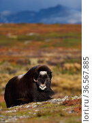 Muskox (Ovibos moschatus) in tundra with mountains in background, Dovrefjell National Park, Norway. September 2018. Стоковое фото, фотограф Staffan Widstrand / Nature Picture Library / Фотобанк Лори