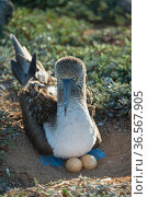 Blue-footed booby (Sula nebouxii) on nest with two eggs. South coast, Santa Cruz Island, Galapagos. Стоковое фото, фотограф Tui De Roy / Nature Picture Library / Фотобанк Лори