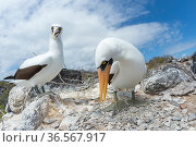 Nazca booby (Sula granti), pair standing amongst stones. Punta Suarez, Espanola Island, Galapagos. Стоковое фото, фотограф Tui De Roy / Nature Picture Library / Фотобанк Лори