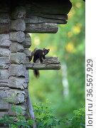 Pine marten (Martes martes) perched on wooden building. Karula National Park, Valgamaa, Southern Estonia. June. Стоковое фото, фотограф Sven  Zacek / Nature Picture Library / Фотобанк Лори