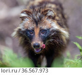 Raccoon dog (Nyctereutes procyonoides) licking lips, portrait. Danube Delta, Romania. May. Стоковое фото, фотограф Pal Hermansen / Nature Picture Library / Фотобанк Лори