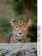 Sri Lanka leopard (Panthera pardus kotiya) headshot. Captive. Стоковое фото, фотограф Edwin Giesbers / Nature Picture Library / Фотобанк Лори