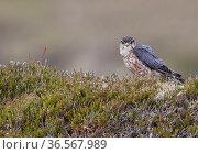 Merlin (Falco columbarius) male standing in heather. Shetland, Scotland, UK. July. Стоковое фото, фотограф Markus Varesvuo / Nature Picture Library / Фотобанк Лори