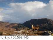 Red deer (Cervus elaphus) stag in upland landscape. Lochcarron, Highlands, Scotland, UK. Стоковое фото, фотограф SCOTLAND: The Big Picture / Nature Picture Library / Фотобанк Лори