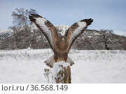 Common buzzard (Buteo buteo) landing on post in snow. Glenfeshie, Cairngorms National Park, Scotland, UK. December. Стоковое фото, фотограф SCOTLAND: The Big Picture / Nature Picture Library / Фотобанк Лори