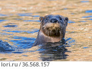 North American river otter (Lontra canadensis) swimming with head above water. Acadia National Park, Maine, USA. November. Стоковое фото, фотограф George  Sanker / Nature Picture Library / Фотобанк Лори