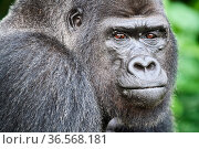 Western lowland gorilla (Gorilla gorilla gorilla) silverback male, portrait. Rescued as an orphan, reintroduced from UK in 2013 through the Gorilla Protection... Стоковое фото, фотограф Eric Baccega / Nature Picture Library / Фотобанк Лори