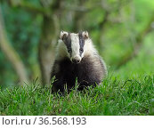 European badger (Meles meles) cub in woodland. Scotland, UK. June. Стоковое фото, фотограф Andy Rouse / Nature Picture Library / Фотобанк Лори