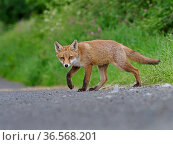 European red fox (Vulpes vulpes) cub crossing road near den. UK. June. Стоковое фото, фотограф Andy Rouse / Nature Picture Library / Фотобанк Лори