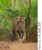 RF - Bengal tiger (Panthera tigris) walking on path through jungle. Ranthambhore National Park, India. (This image may be licensed either as rights managed or royalty free.) Стоковое фото, фотограф Andy Rouse / Nature Picture Library / Фотобанк Лори