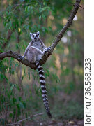 Ringed-tailed lemur (Lemur catta) sitting on branch. Berenty Reserve, Madagascar. Стоковое фото, фотограф Cyril Ruoso / Nature Picture Library / Фотобанк Лори