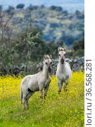 Sorraia horses, two foals standing in meadow. Middle Coa, Coa Valley, Western Iberia, Portugal. April 2016. Стоковое фото, фотограф Juan  Carlos Munoz / Nature Picture Library / Фотобанк Лори