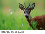 Roe deer (Capreolus capreolus) buck, portrait. Yonne, Bourgogne-Franche-Comte, France. June. Стоковое фото, фотограф Cyril Ruoso / Nature Picture Library / Фотобанк Лори