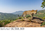 Indian leopard (Panthera pardus fusca) female on rock in tea plantation. Nilgiri Biosphere Reserve, India. 2019. Camera trap image. Стоковое фото, фотограф Yashpal Rathore / Nature Picture Library / Фотобанк Лори