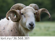 Wilsthire horn sheep with body bare of self shedding fleece, portrait. Surrey, England, UK. Стоковое фото, фотограф TJ Rich / Nature Picture Library / Фотобанк Лори