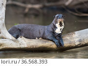 Giant river otter (Pteronura brasiliensis) resting on fallen tree trunk above Cuiaba River. Pantanal, Mato Grosso, Brazil. Стоковое фото, фотограф Gabriel Rojo / Nature Picture Library / Фотобанк Лори