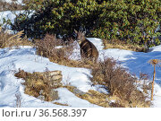 Goral (Naemorhedus griseus) in snow. Jiudingshan Nature Reserve, Mao Country, Sichuan Province, China. November. Стоковое фото, фотограф Dong Lei / Nature Picture Library / Фотобанк Лори
