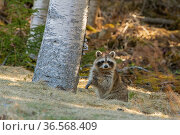 Raccoon (Procyon lotor) sitting in woodland, looking at camera. Acadia National Park, Maine, USA. April. Стоковое фото, фотограф George  Sanker / Nature Picture Library / Фотобанк Лори